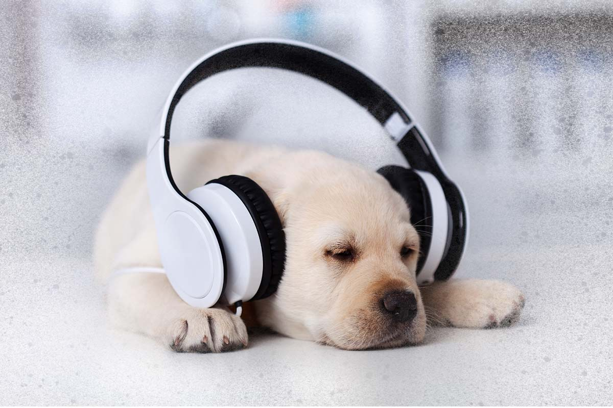 A cute puppy sleeping with head phones