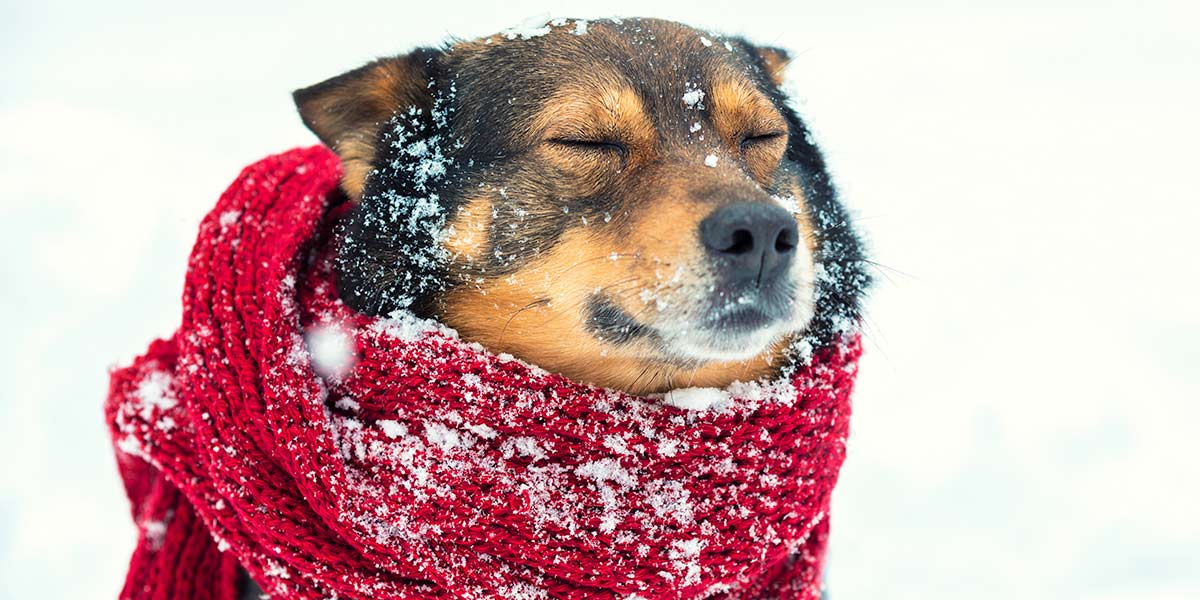 Dog with a scarf in the snow